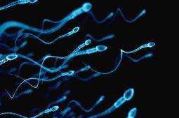 Quelle est la durée de vie d'un spermatozoïde?