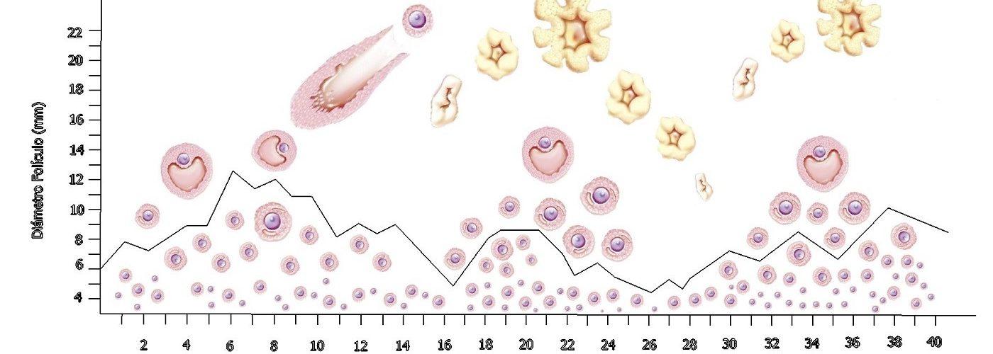 stimulation ovarienne embryon sain